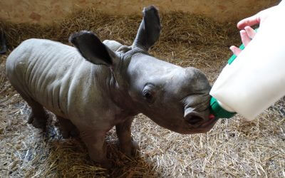Cotswold Wildlife Park's first hand-reared rhino calf makes her debut